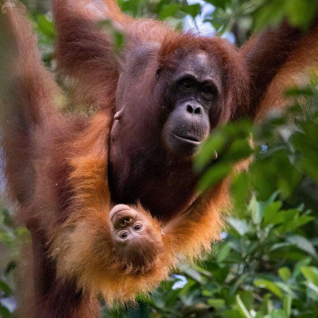 3.อุรังอุตังบอร์เนียว (Bornean orangutan)